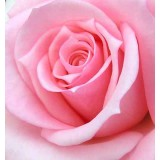 "s08r-007 ""Роза"""