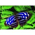 """Схема вышивки s02ba-006 бабочка  """"Тропическая голубая волна"""""""