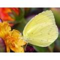 """Схема вышивки s02ba-007 бабочка  """"Солнечная бабочка"""""""