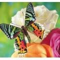 """Схема вышивки s02ba-010 бабочка  """"Хризиридия мадагаскарская"""""""