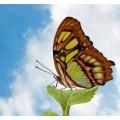 """Схема вышивки s02ba-011 бабочка  """"Нимфомида Сипроста"""""""