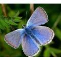 "Схема вышивки s02ba-012 бабочка  ""Голубянка Икар"""