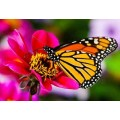 "Схема вышивки s02ba-013 бабочка  ""Монарх"""