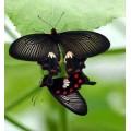 """Схема вышивки s02ba-014 бабочка  """"Парусник кирказоновый"""""""