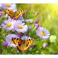 """Схема вышивки s02ba-015 бабочка  """"Крапивницы"""""""