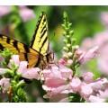 """Схема вышивки s02ba-002 бабочка  """"Тигровый парусник"""""""