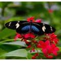 """Схема вышивки s02ba-004 бабочка  """"Геликония Дорис"""""""