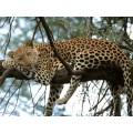 """Схема вышивки s02le-006 """"Леопард на дереве"""""""