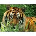 """Схема вышивки s02t-003 """"Тигр"""""""