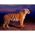 """Схема вышивки s02t-008 """"Тигр"""""""